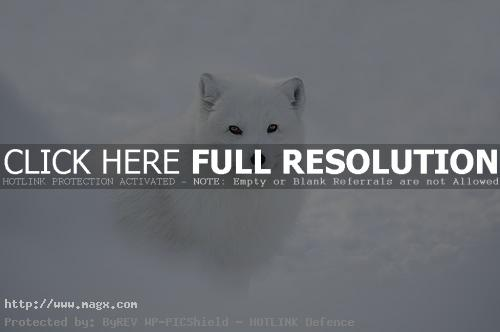 arctic fox Arctic Fox   Wild Animals