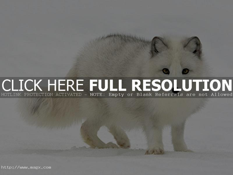 arctic fox1 Arctic Fox   Wild Animals