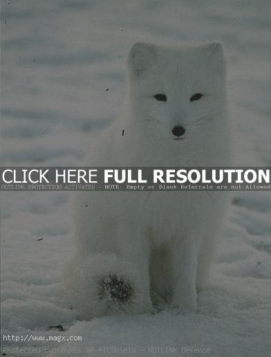 arctic fox10 Arctic Fox   Wild Animals