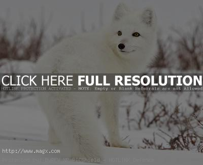 arctic fox2 Arctic Fox   Wild Animals