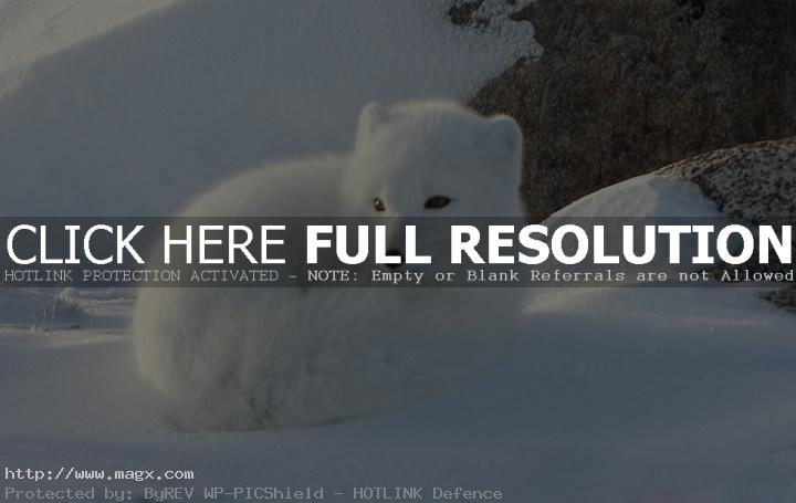 arctic fox3 Arctic Fox   Wild Animals