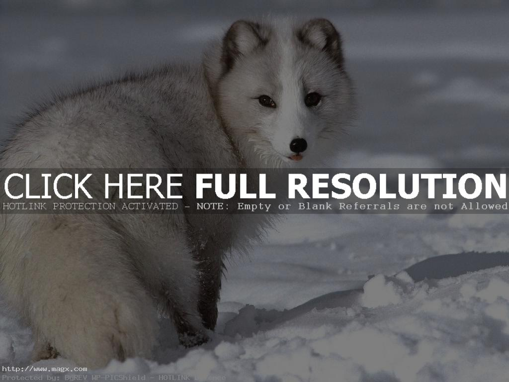 arctic fox4 Arctic Fox   Wild Animals