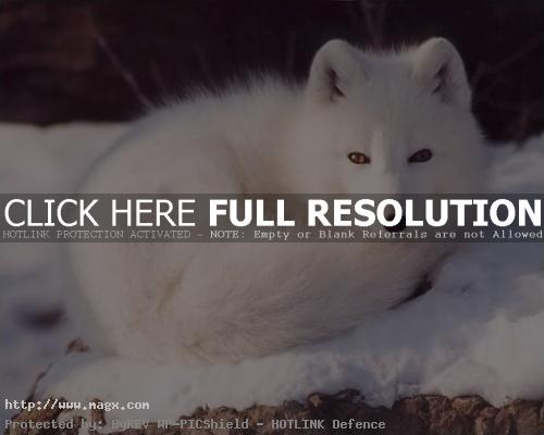arctic fox5 Arctic Fox   Wild Animals