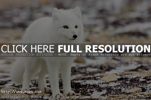 arctic fox6 Arctic Fox   Wild Animals