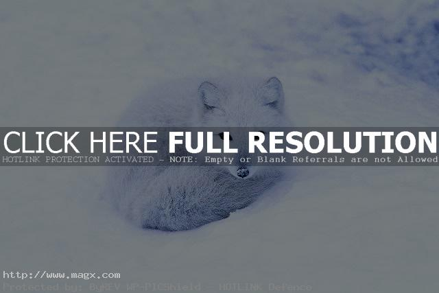 arctic fox7 Arctic Fox   Wild Animals