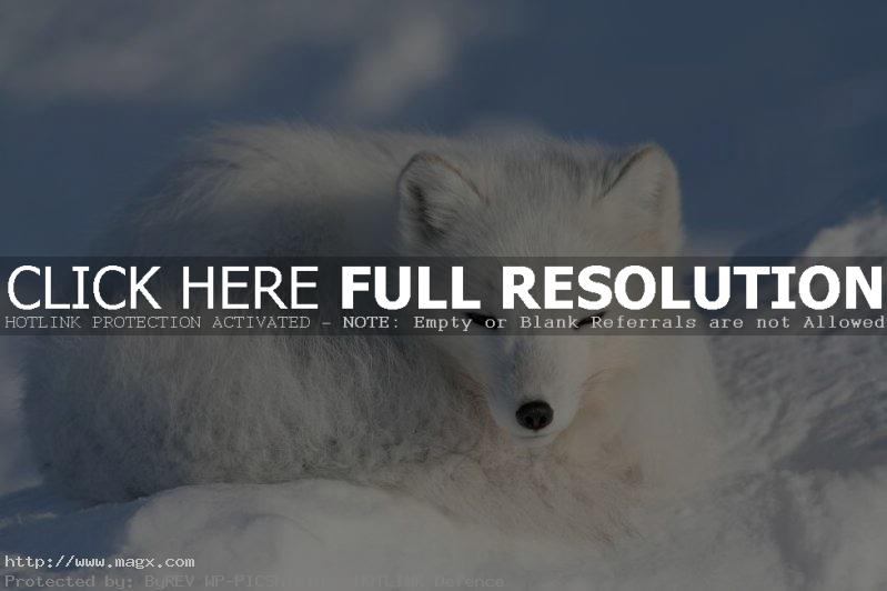 arctic fox9 Arctic Fox   Wild Animals