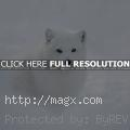 Arctic Fox – Wild Animals