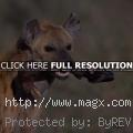 What Do Hyenas Eat ?
