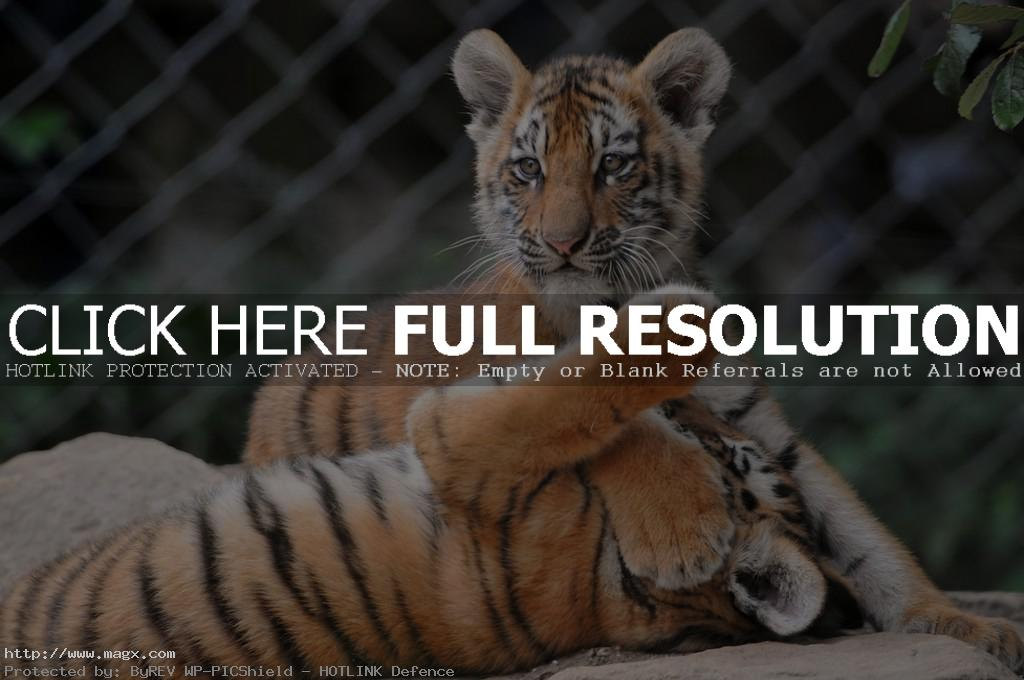 amur tiger2 Endangered Siberian Tiger Cubs